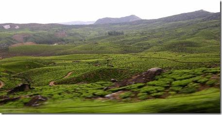 huge plantations